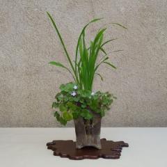 Cymbalaria-muralis-y-Laperousia