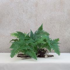 Davallia-canariensis-B06