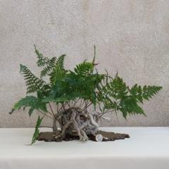Davallia-canariensis-C05