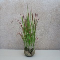 Imperata-cylindrica-Red-Baron-A
